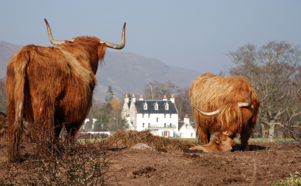 Applecross Highland Cattle
