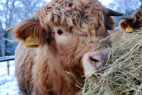 Highland bullock