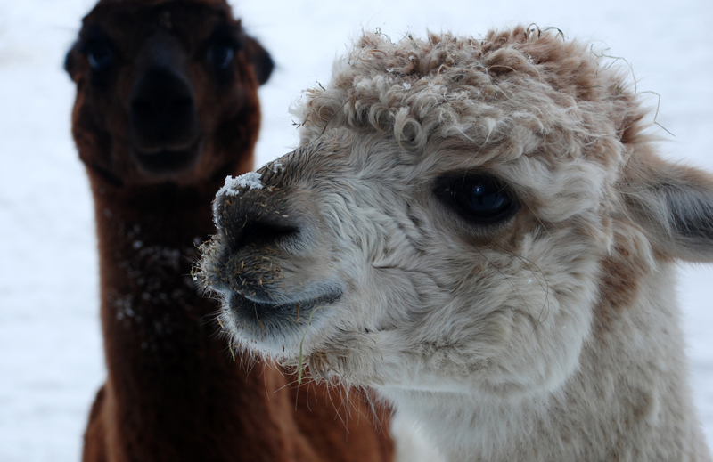Or maybe Alpacas