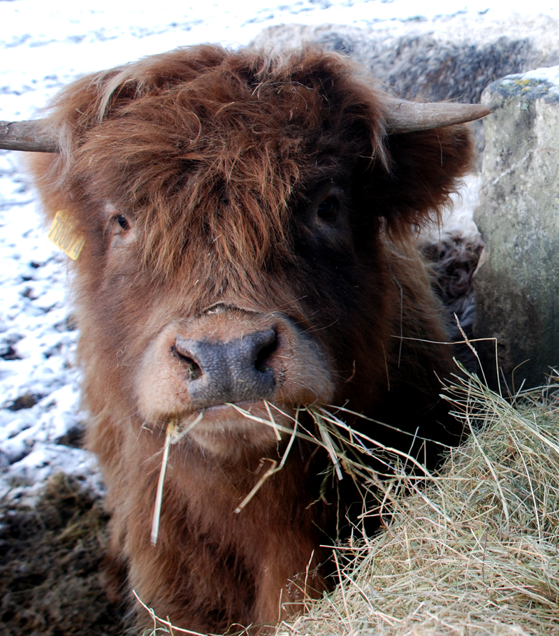 Smaller Highland bullock