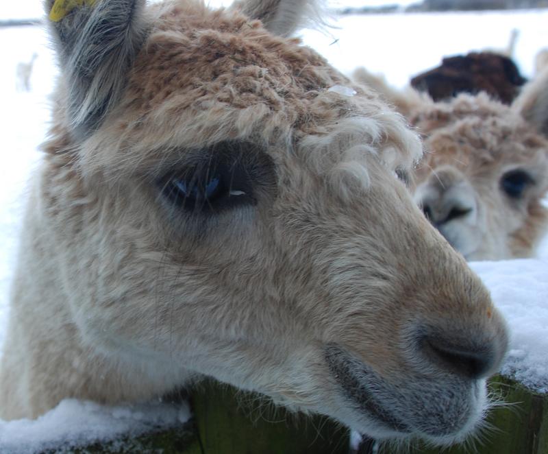 ...or Alpaca
