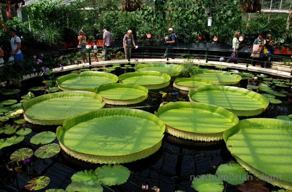 Santa Cruz Water Lily