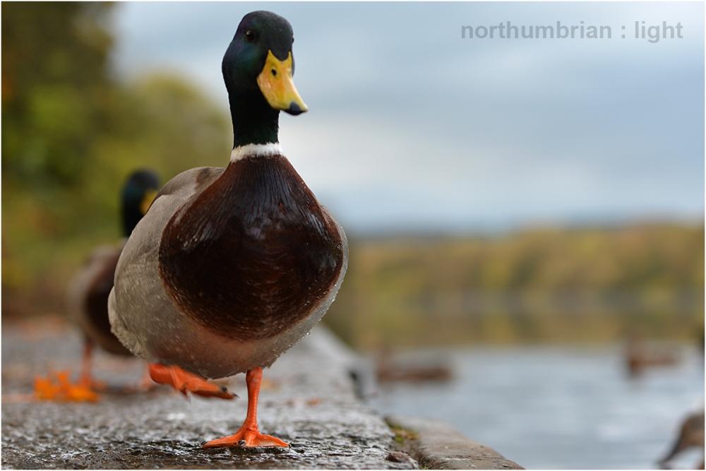 Tyne duck ...
