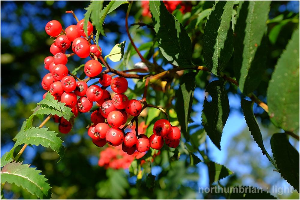 Rowan berries ...