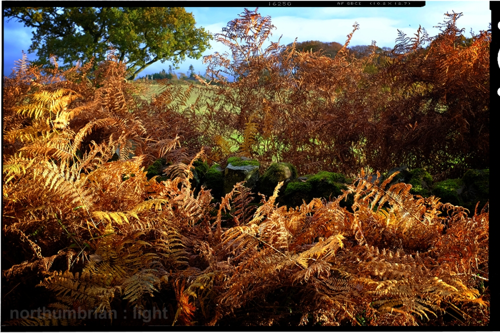 Golden ferns ...