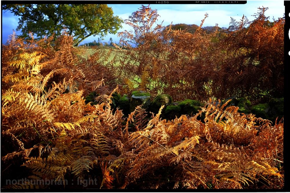 Golden ferns ...
