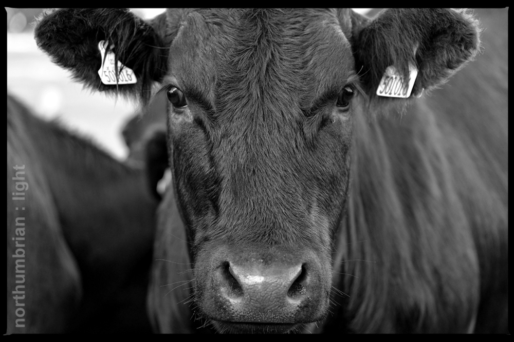 Black cows in the meadow Across a broad highway Black cows in the meadow Across a broad highway Though it's funny, honey I just don't feel much like a Scarecrow today