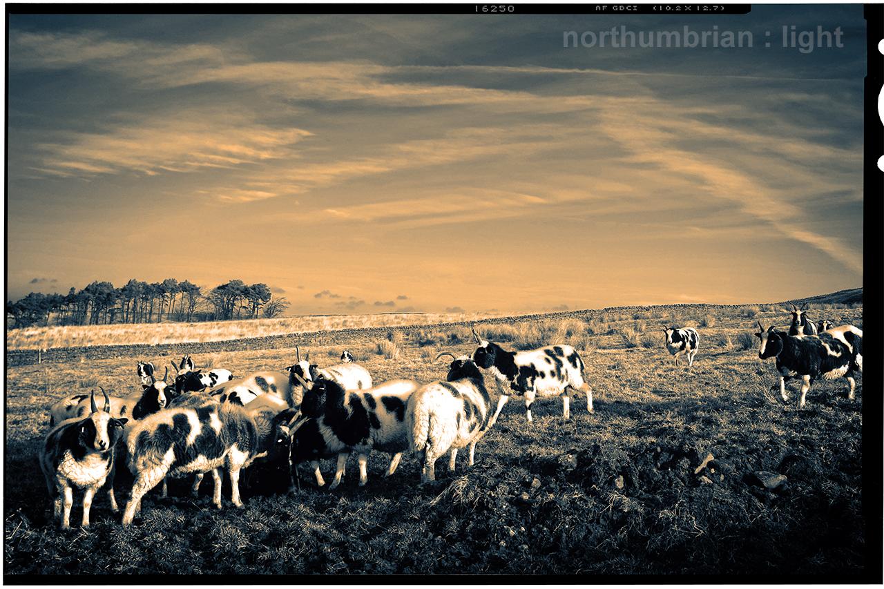 Jacob sheep ...